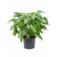 Филодендрон xanadu bush Диаметр горшка — 35 см Высота растения — 95 см