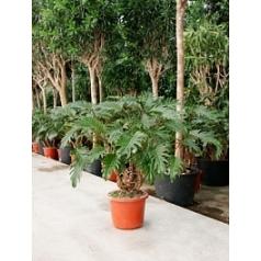 Филодендрон xanadu bush Диаметр горшка — 32 см Высота растения — 110 см