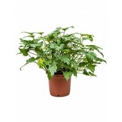 Филодендрон xanadu bush Диаметр горшка — 32 см Высота растения — 80 см