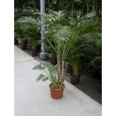 Филодендрон xantal bush Диаметр горшка — 32 см Высота растения — 110 см