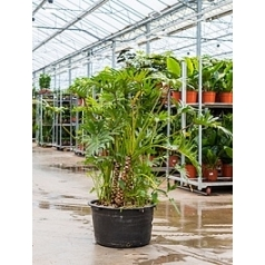 Филодендрон xantal bush Диаметр горшка — 52 см Высота растения — 130 см