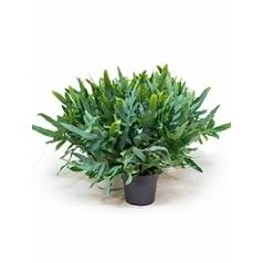 Флебодиум (папоротник) blue star blue Диаметр горшка — 17 см Высота растения — 50 см