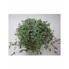 Pillea glauca Диаметр горшка — 10.5 см Высота растения — 20 см