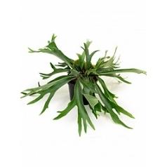 Платицериум (папоротник) alcicorne tuft Диаметр горшка — 24 см Высота растения — 40 см