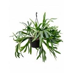 Платицериум (папоротник) bifercatum tuft 3pp Диаметр горшка — 28 см Высота растения — 60 см