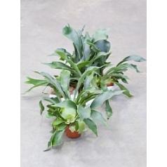 Платицериум (папоротник) bifurcatum Диаметр горшка — 12 см Высота растения — 50 см