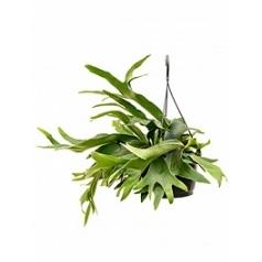 Платицериум (папоротник) bifurcatum tuft Диаметр горшка — 21 см Высота растения — 50 см