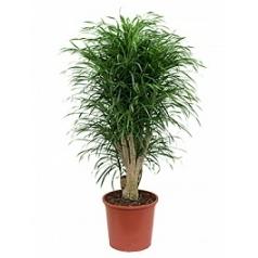 Плеомел (нолина-драцена) anita branched Диаметр горшка — 32 см Высота растения — 145 см
