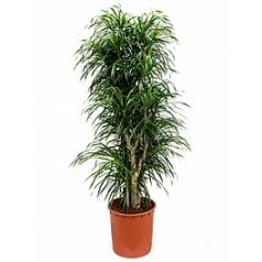Плеомел (нолина-драцена) anita branched Диаметр горшка — 34 см Высота растения — 165 см