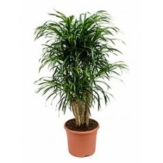 Плеомел (нолина-драцена) anita branched Диаметр горшка — 30 см Высота растения — 110 см