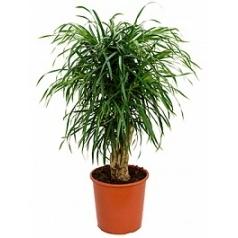 Плеомел (нолина-драцена) anita branched Диаметр горшка — 27 см Высота растения — 100 см