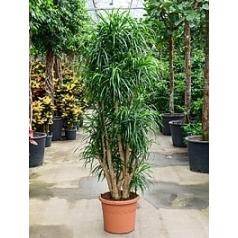 Плеомел (нолина-драцена) anita branched Диаметр горшка — 40 см Высота растения — 190 см