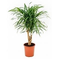 Плеомел (нолина-драцена) anita branched Диаметр горшка — 21 см Высота растения — 70 см