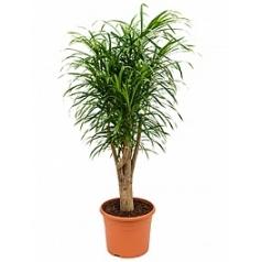 Плеомел (нолина-драцена) anita stem branched Диаметр горшка — 30 см Высота растения — 110 см