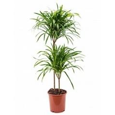 Плеомел (нолина-драцена) anita variegata 45-15 Диаметр горшка — 19 см Высота растения — 95 см