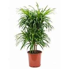Плеомел (нолина-драцена) anita variegata multi stem Диаметр горшка — 24 см Высота растения — 90 см