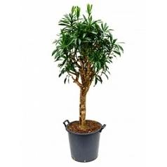 Плеомел (нолина-драцена) reflexa (180-200) stem Диаметр горшка — 43 см Высота растения — 180 см