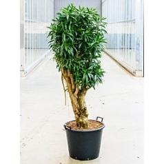 Плеомел (нолина-драцена) reflexa (200-225) branched Диаметр горшка — 55 см Высота растения — 220 см