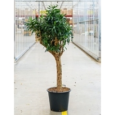 Плеомел (нолина-драцена) reflexa (200-225) stem Диаметр горшка — 50 см Высота растения — 250 см