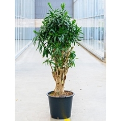 Плеомел (нолина-драцена) reflexa (200-240) branched Диаметр горшка — 50 см Высота растения — 220 см