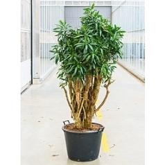 Плеомел (нолина-драцена) reflexa (250-275) branched Диаметр горшка — 60 см Высота растения — 250 см