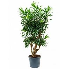 Плеомел (нолина-драцена) reflexa branched (130-150) Диаметр горшка — 31 см Высота растения — 140 см
