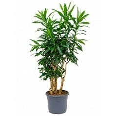 Плеомел (нолина-драцена) reflexa branched (80-100) Диаметр горшка — 29 см Высота растения — 100 см