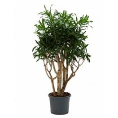 Плеомел (нолина-драцена) reflexa branched Диаметр горшка — 31 см Высота растения — 110 см