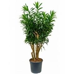 Плеомел (нолина-драцена) reflexa branched Диаметр горшка — 35 см Высота растения — 160 см