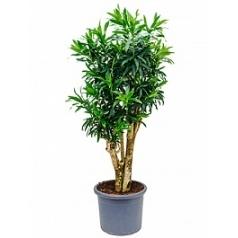Плеомел (нолина-драцена) reflexa branched Диаметр горшка — 40 см Высота растения — 175 см