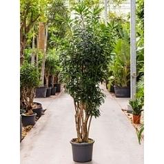 Плеомел (нолина-драцена) reflexa branched Диаметр горшка — 40 см Высота растения — 200 см