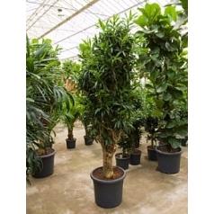Плеомел (нолина-драцена) reflexa branched Диаметр горшка — 50 см Высота растения — 170 см