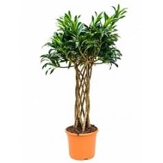 Плеомел (нолина-драцена) reflexa cilinder Диаметр горшка — 30 см Высота растения — 120 см