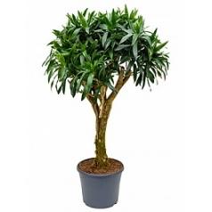 Плеомел (нолина-драцена) reflexa stem Диаметр горшка — 35 см Высота растения — 140 см