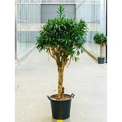 Плеомел (нолина-драцена) reflexa stem Диаметр горшка — 45 см Высота растения — 220 см