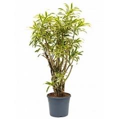 Плеомел (нолина-драцена) song of india branched Диаметр горшка — 35 см Высота растения — 125 см