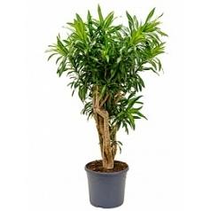 Плеомел (нолина-драцена) song of jamaica branched (100-140) Диаметр горшка — 31 см Высота растения — 120 см