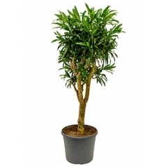 Плеомел (нолина-драцена) song of jamaica branched (130-150) Диаметр горшка — 35 см Высота растения — 140 см