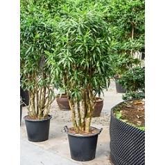 Плеомел (нолина-драцена) song of jamaica branched (200-220) Диаметр горшка — 50 см Высота растения — 200 см