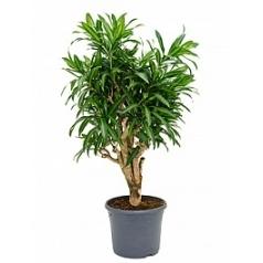 Плеомел (нолина-драцена) song of jamaica branched (70-80) Диаметр горшка — 29 см Высота растения — 80 см
