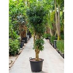 Плеомел (нолина-драцена) song of jamaica branched Диаметр горшка — 55 см Высота растения — 275 см