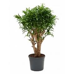 Плеомел (нолина-драцена) song of jamaica branched Диаметр горшка — 29 см Высота растения — 90 см