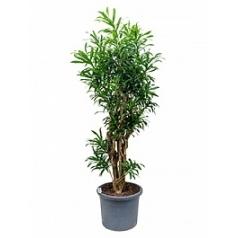 Плеомел (нолина-драцена) song of jamaica branched Диаметр горшка — 40 см Высота растения — 180 см