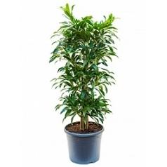 Плеомел (нолина-драцена) song of la tigra branched/multi Диаметр горшка — 29 см Высота растения — 120 см