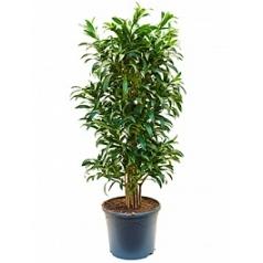 Плеомел (нолина-драцена) song of la tigra branched/multi Диаметр горшка — 31 см Высота растения — 130 см