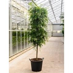 Подокарпус (Многоплодник) gracilor stem (300-350) Диаметр горшка — 60 см Высота растения — 325 см