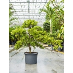 Подокарпус (Многоплодник) latifolius bonsai (170-200) Диаметр горшка — 45 см Высота растения — 150 см