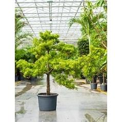 Подокарпус (Многоплодник) latifolius bonsai (170-200) Диаметр горшка — 45 см Высота растения — 180 см