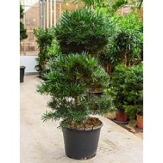 Подокарпус (Многоплодник) macrophyllus bonsai/multi crowns Диаметр горшка — 55 см Высота растения — 180 см