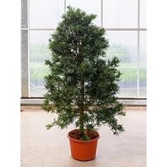 Подокарпус (Многоплодник) macrophyllus bush (200-220) Диаметр горшка — 45 см Высота растения — 210 см